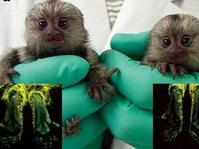 Японцы вывели трансгенных обезьян, светящихся зеленым в ультрафиолете