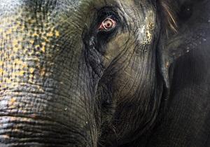 Жители Непала требуют поймать и уничтожить слона-убийцу