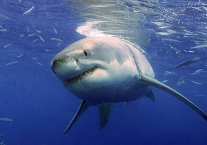 Новости науки: Детеныши тигровой акулы съедают друг друга в утробе матери