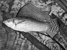Ученые обнаружили рыб, существующих только в женском роде
