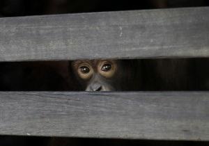 Новости науки: Самки шимпанзе более агрессивны в общении друг с другом, чем с самцами