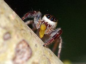 Первые известные науке пауки-вегетарианцы воруют пищу у муравьев