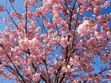 Японцам объявили о цветении сакуры