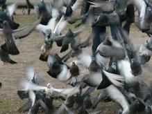 Австралийские голуби напали на здания полиции и суда