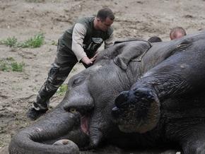 Слона Боя посадят на диету и научат самостоятельно спиливать ногти