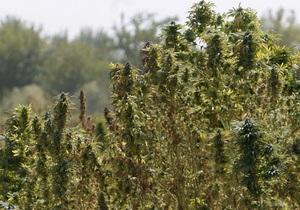 В Кировоградской области обнаружили крупнейшую за десятилетие плантацию конопли