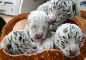 Фотогалерея: Тигрюля стала мамой. Известная в Украине самка тигра-альбиноса привела потомство