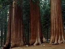 Самое старое в мире дерево обнаружено в Швеции