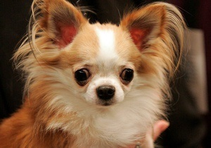 Власти канадского города внесли в реестр опасных собак чихуахуа