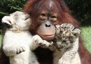 В американском заповеднике орангутанг стал приемным отцом двум львятам