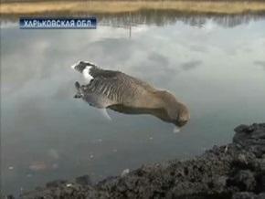Экологи назвали экоцидом массовое отравление гусей под Харьковом