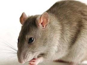 Житель Бангладеш в награду за уничтожение крыс получил телевизор