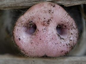 Единственную афганскую свинью поместили в изолятор