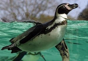В Токио спустя месяц свернули поиски пропавшего пингвина
