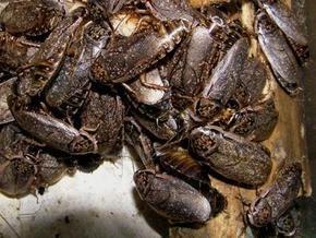 Ученые: Задержка дыхания поможет тараканам в период глобальной засухи