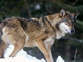 В Киеве поймали волка