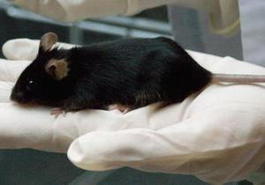 Ученые: За побуждения к сексу и агрессии в организме отвечают одни и те же нервные клетки