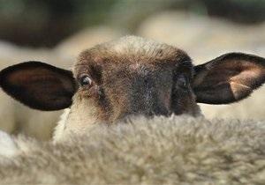 Некачественная вакцина убила десятки тысяч овец в Средней Азии