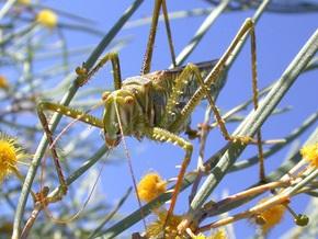 Самцы цикад становятся добычей кузнечиков из-за секса