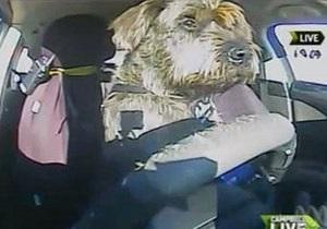 В Новой Зеландии собаки успешно сдали экзамен по вождению