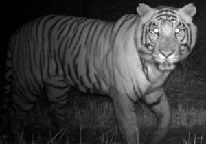 Люди вынудили непальских тигров стать ночными животными