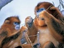 В Китае спасают золотистых обезьян