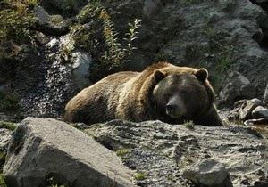 В Беларуси наблюдается рекордный период зимней спячки медведей