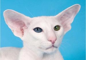 В Киеве пройдет выставка белых разноглазых котов
