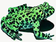 На острове Борнео нашли лягушку без легких