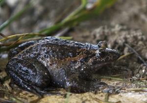 В Израиле обнаружена лягушка, считавшаяся давно вымершей