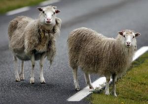 На въезде в Москву пастух вывел на дорогу и выпас стадо баранов