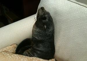 В Новой Зеландии морской котик заполз в дом и лег на диван