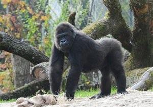 В Швеции горилла бросила камень в посетительницу зоопарка