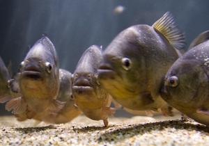 В Херсонской области в реке выловили килограммовую пиранью