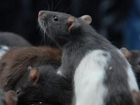 В лесах Папуа-Новой Гвинеи обнаружили почти метровую крысу
