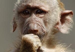 Ученые научили обезьян играть в компьютерные игры