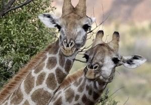 Житель Норвегии собрал миллион изображений жирафов