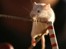 Крысы умеют мыслить аналитически