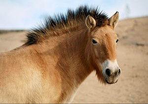 Киевский зоопарк планирует показать снежного барса и лошадей Пржевальского