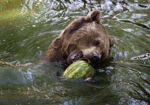 Новости Украины: В Карпатах медведи спасаются от жары холодными ваннами и пивом