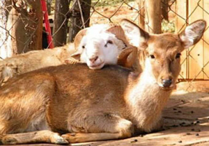 В китайском зоопарке поженят барана и олениху