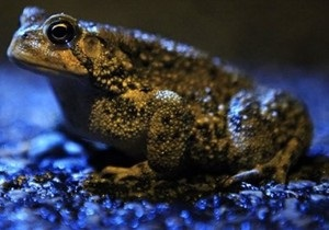 Ученые впервые описали предчувствие землетрясения у жаб