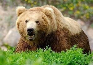 В Карпатах на женщину собиравшую ягоды напал медведь