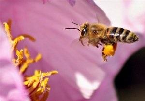 Мушка-паразит заставляет пчел сбегать из улья
