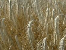 Минагрополитики предлагает увеличить квоту на экспорт зерна