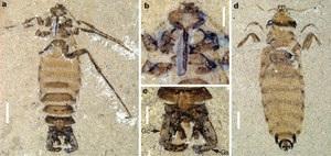 В Китае обнаружили останки гигантской блохи Юрского периода