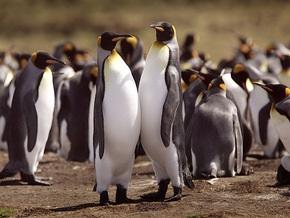 На пляжах Бразилии найдены десятки мертвых пингвинов