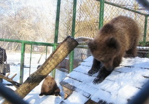 Омельченко купил для Киевского зоопарка медвежат Настю и Потапа
