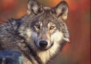В Одесском зоопарке на 6-летнюю девочку напали волки