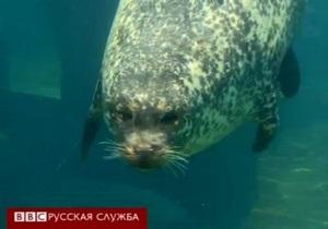 Как тюлень плавает полчаса на одном вдохе? - видео
